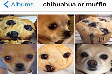 Chihuahua of muffin